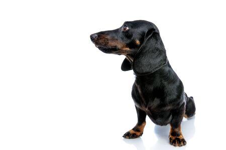 seated delightful Teckel puppy dog with black fur looking sideways on white studio background