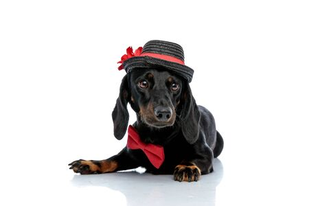 lying down cute Teckel puppy dog with black fur,hat and red bow tie looking away with humble eyes on white studio background
