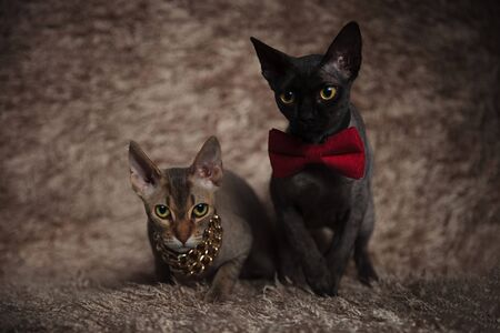 wonderful couple of black and gray cats wearing a bow tie and a chain sitting,one with one leg exposed and the other with front legs crossed Stock Photo