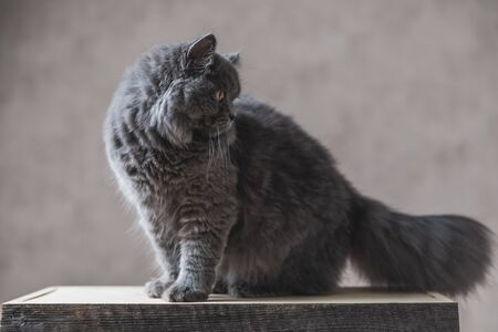 seated on wood beautiful British Longhair cat with gray fur looking down bored on gray studio background Reklamní fotografie