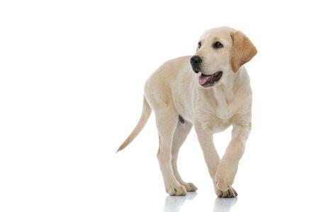 adorable labrador retriever puppy walking and panting on white background Stockfoto