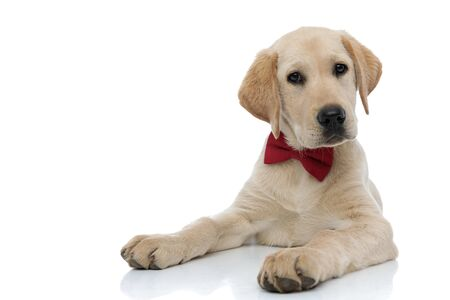 curious little gentleman labrador retriever puppy lying down on white background Imagens
