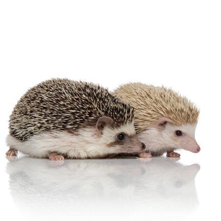side view of couple of two adorable hedgehogs standing isolated side by side on white background, full body