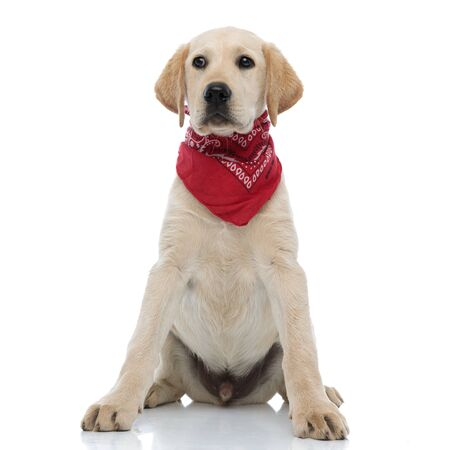 beautiful labrador retriever puppy wearing red bandana looks to side on white background 스톡 콘텐츠