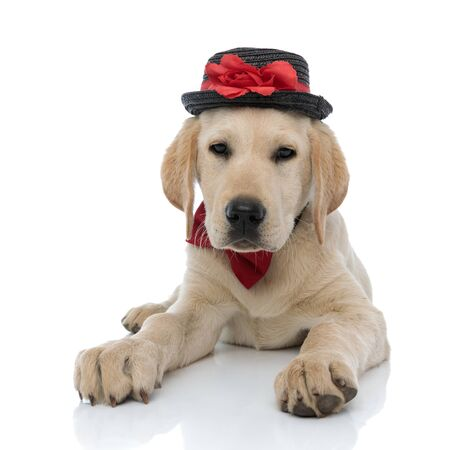 young labrador retriever puppy wearing hat and bow tie is lying down on white background