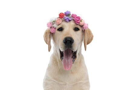 head of a happy panting labrador retriever puppy dog wearing a flowers headband on its head on white background