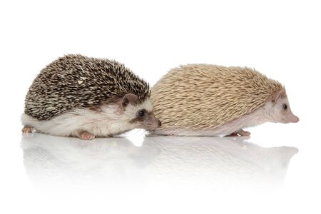 couple of two adorable hedgehogs standing one in front of the other one on white background, full body Banque d'images