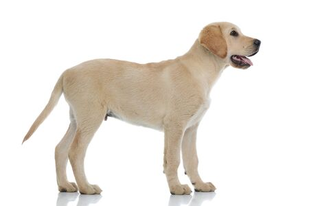 side view of a cute labrador retriever puppy dog looking up at something on white background