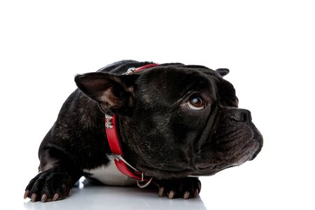 delightful little French bulldog with red leash and black white fur laying down and looking up with a curious expression on his face on white studio background