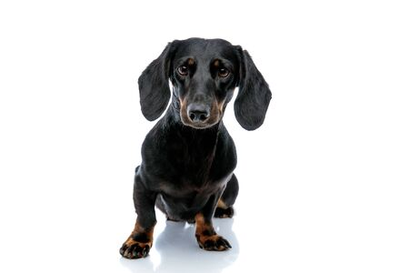 seated adorable Teckel puppy dog with black fur curiously looking at the camera on white studio background Stock Photo