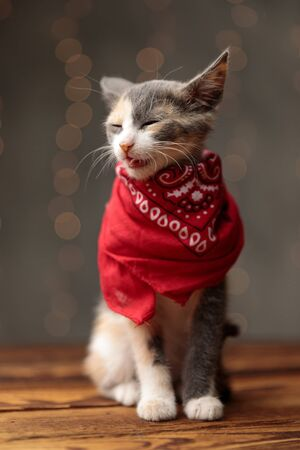 cute Metis cat with gray white fur and red bandana is sitting alert with mouth open and sleepy eyes on gray studio background