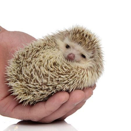 adorable african hedgehog being held in palm on white background, full body