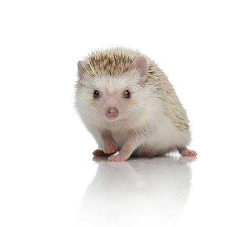 cute hedgehog walking isolated on white background in studio, full body