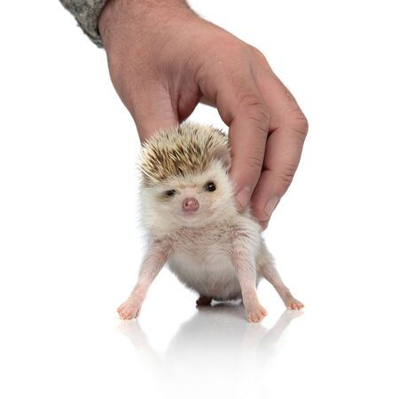 funny hedgehog held by human hand, standing on white background, full body Banque d'images