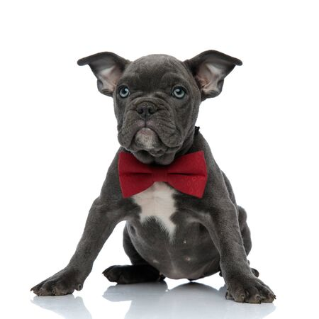 cute american bully wearing red bowtie, looking up and sitting isolated on white background, full body Foto de archivo