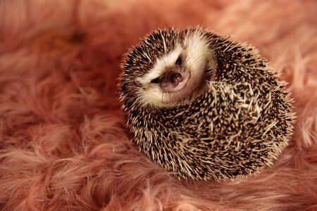 beautiful little hedgehog laying down on it's back and cuddling in a pink soft studio background
