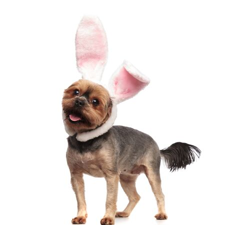 side view of adorable yorkshire terrier wearing rabbit ears, panting and sticking out tongue, standing isolated on white background in studio, full body Stock Photo