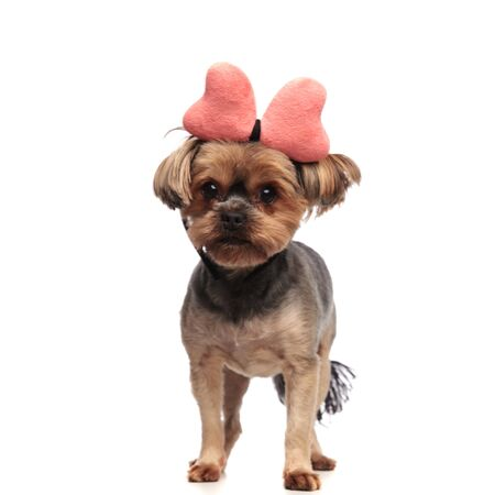 adorable yorkshire terrier wearing pink bow, standing isolated on white background in studio, full body