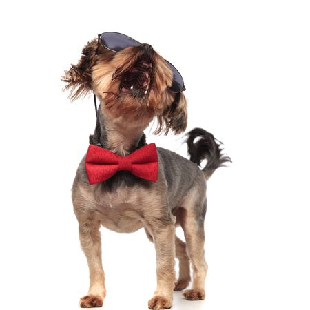 adorable yorkshire terrier wearing sunglasses and red bowtie, barking, moving tail, standing isolated on white background in studio, full body