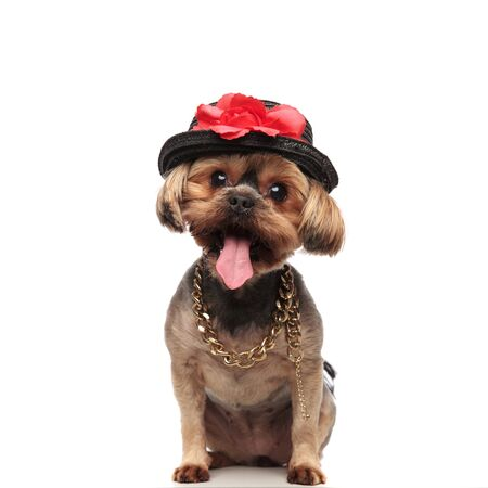 adorable yorkshire terrier wearing black hat and collar, sticking out tongue and panting, sitting isolated on white background, full body Stock Photo