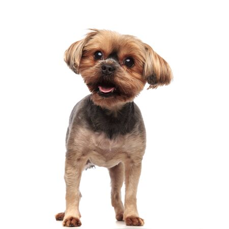cute yorkshire terrier panting, sticking out tongue, looking to side, standing isolated on white background in studio, full body