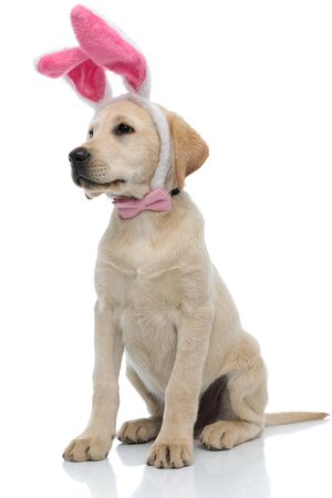 adorable labrador retriever dressed as easter bunny looks to side and sits on white background Stock Photo