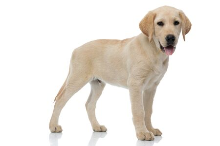 side view of a labrador retriever puppy dog standing and looking at the camera on whiet background