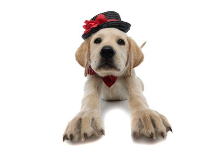 adorable labrador retriever puppy wearing hat and red bow tie is stretching because it is tired,  on white background