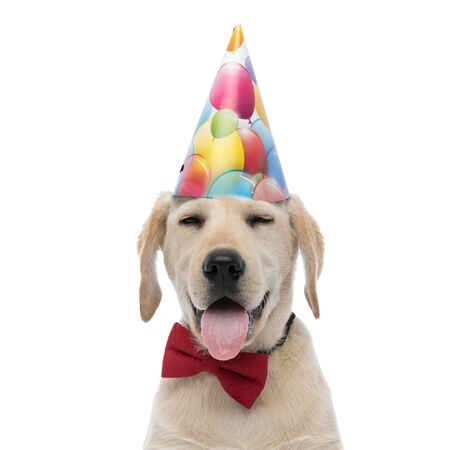 funny labrador retriever puppy wearing birthday hat and red bowtie on white background