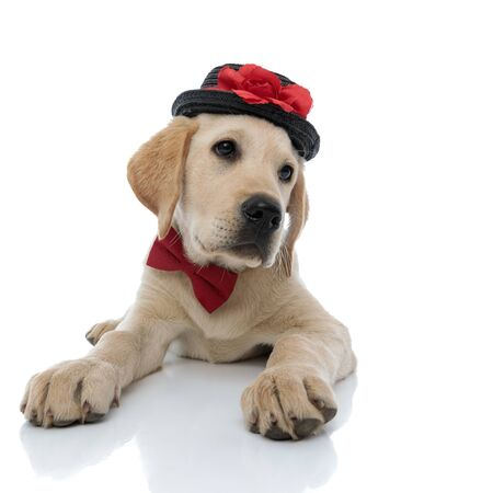 little labrador retriever puppy wearing bow tie and  hat looks to side,  lying down on white background