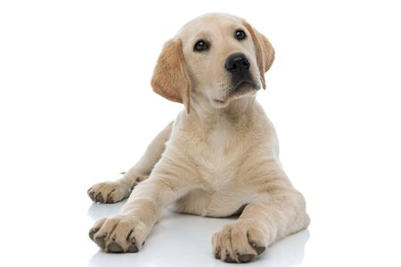 young labrador retriever puppy dog looks up at something on white background