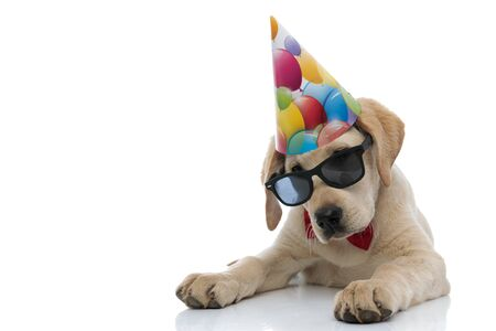 little labrador retriever puppy wearing party hat, sunglasses and red bowtie i lying down on white background