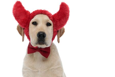 head of a cute labrador retriever puppy wearing devil horns and bow tie for halloween on white background