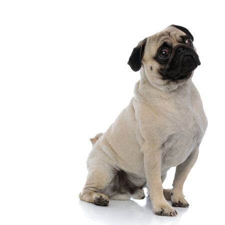 Concerned pug looking away while sitting on white studio background
