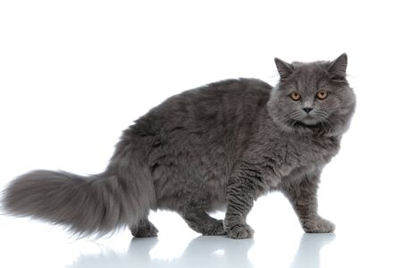 side view of a sweet british longhair cat with gray fur standing and looking away pensive against white studio background