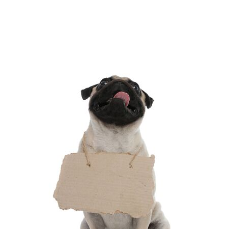 Hopeful pug panting and looking up with a sign around his neck while sitting on white studio background