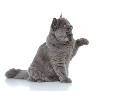 side view of an adorable british longhair cat with gray fur sitting and playing with one paw up happy against white studio background