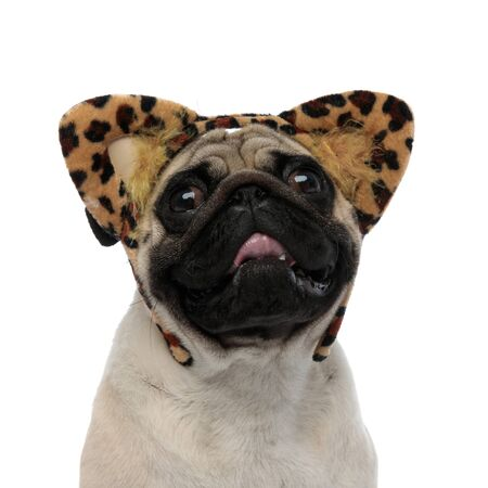 Close up of an adorable pug panting and wearing a headband with cheetah ears while sitting on white studio background Stock fotó