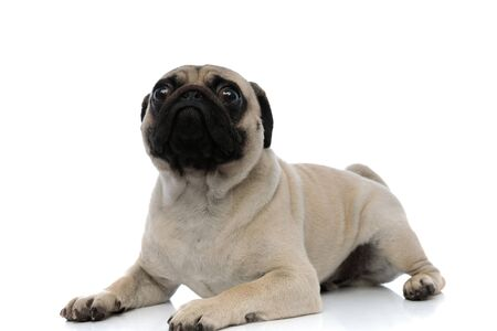 Scared pug looking forward frightened while laying down on white studio background