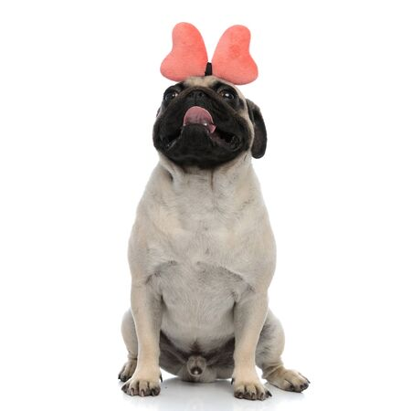 Cheerful pug looking up and panting while wearing a headband with a pink bow and sitting on white studio background