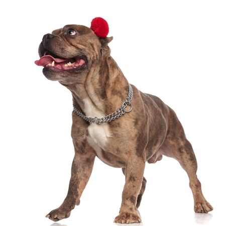 curious american bully wearing red earmuffs and silver collar, panting and sticking out tongue, looking up side and standing isolated on white background, full body Archivio Fotografico