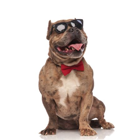 cute american bully wearing sunglasses and red bowtie, panting and sticking out tongue, sitting isolated on white background,full body