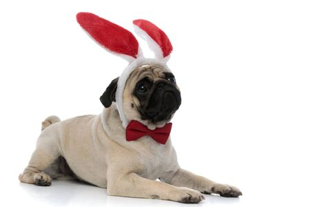 Sad pug wearing bunny ears and a red bow tie while looking away and laying down on white studio background