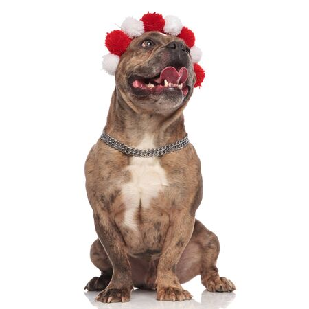 smiling american bully wearing christmas headband and silver collar, panting and sticking out tongue, looking up and sitting isolated on white background, full body