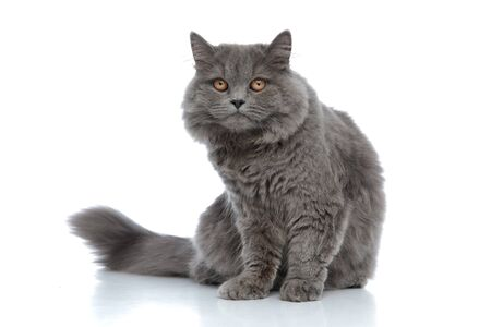 adorable british longhair cat with gray fur sitting without occupation and fed up against white studio background Stock fotó
