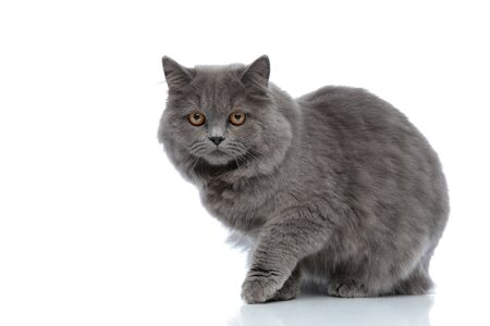 cute british longhair cat with gray fur sitting and staring at camera curious against white studio background