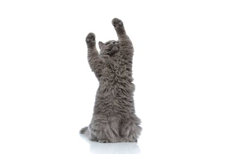 pretty british longhair cat with gray fur standing on hind legs and playing with both paws up against white studio background