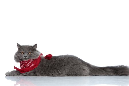 side view of a superb british longhair cat with gray fur and red bandana lying down and looking at camera lazy against white studio background