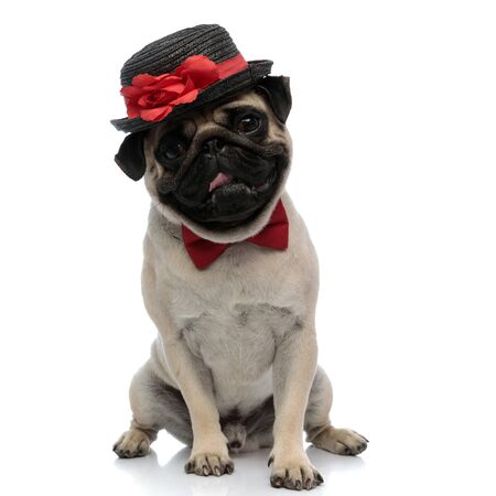 Adorable pug wearing a hat with a flower decoration and a red bowtie while panting and sitting on white studio background