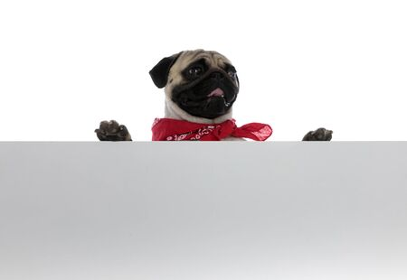 Adorable pug holding a blank billboard and wearing bandana while looking to the side on white studio background